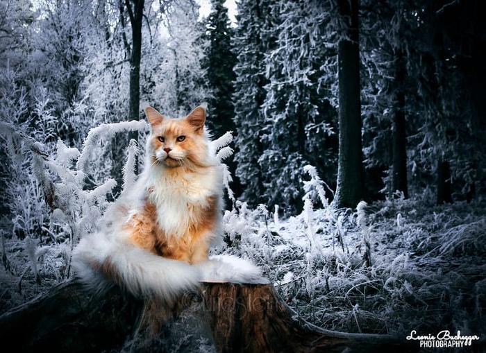 25 fotos de gatos maine coon que são super majestosos e fofos 25