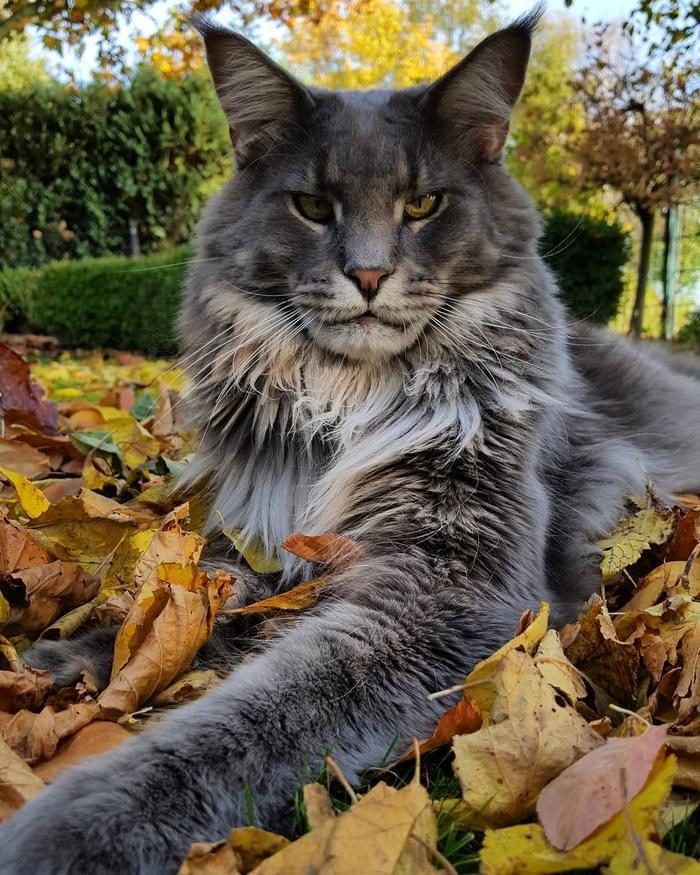 25 fotos de gatos maine coon que são super majestosos e fofos 26