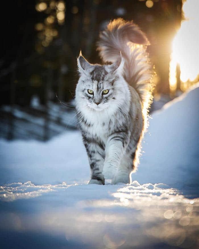 25 fotos de gatos maine coon que são super majestosos e fofos 27