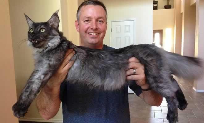 25 fotos de gatos maine coon que são super majestosos e fofos 1