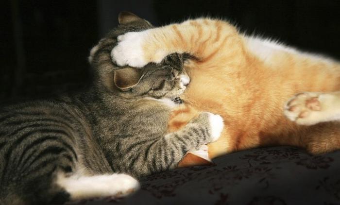 10 motivos para adotar dois gatos ao invés de um 10