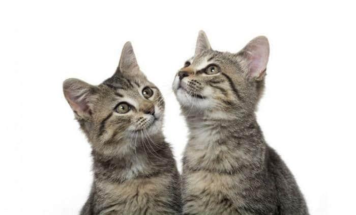10 motivos para adotar dois gatos ao invés de um 11