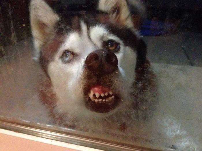 25 animais que adora lamber vidros que vão fazer você morrer de rir 2