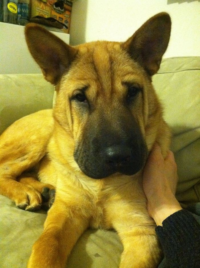 22 misturas de cachorros que deram certo 12