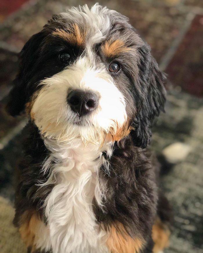 22 misturas de cachorros que deram certo 15
