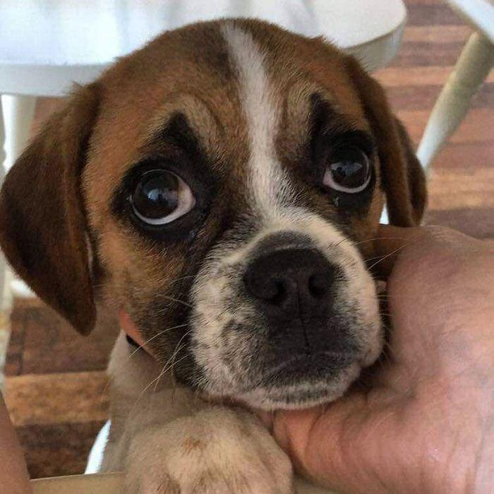 22 misturas de cachorros que deram certo 19