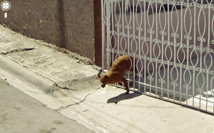 37 melhores fotos de animais tiradas acidentalmente pelo Google Street View 14