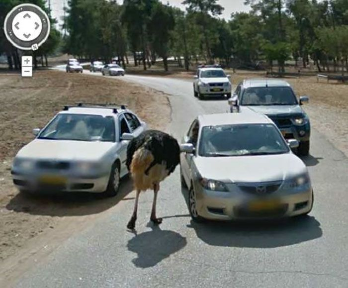 37 melhores fotos de animais tiradas acidentalmente pelo Google Street View 30