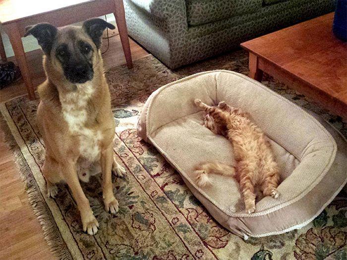 22 gatos folgados que roubaram a cama de cachorros 2