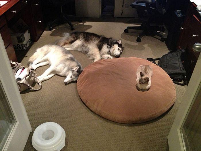 22 gatos folgados que roubaram a cama de cachorros 4