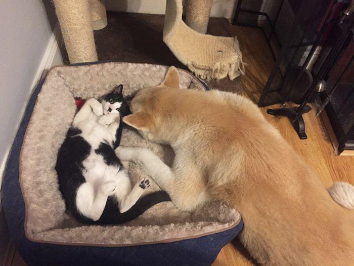 22 gatos folgados que roubaram a cama de cachorros 8