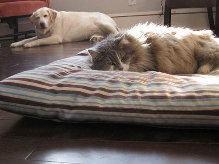 22 gatos folgados que roubaram a cama de cachorros 10