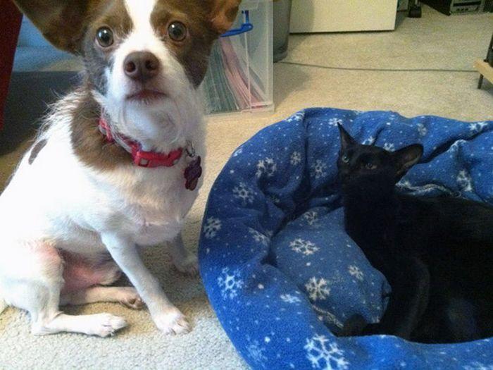 22 gatos folgados que roubaram a cama de cachorros 14