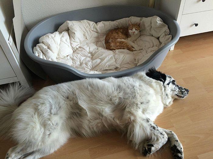 22 gatos folgados que roubaram a cama de cachorros 15