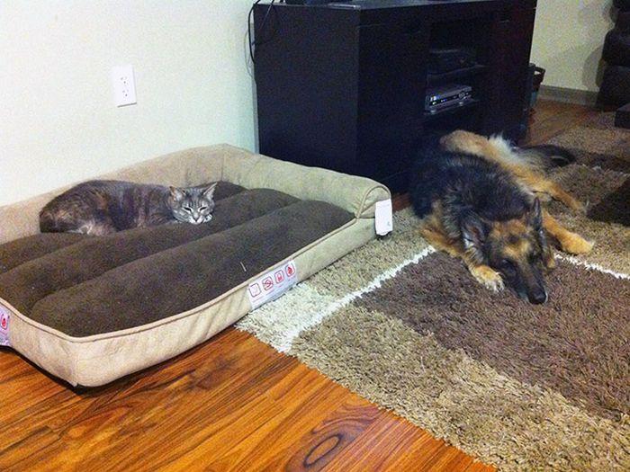 22 gatos folgados que roubaram a cama de cachorros 16