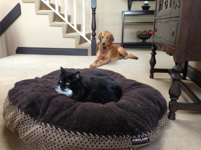 22 gatos folgados que roubaram a cama de cachorros 18