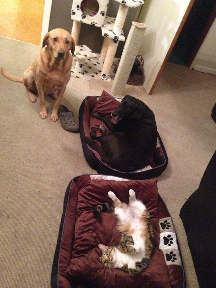 22 gatos folgados que roubaram a cama de cachorros 21