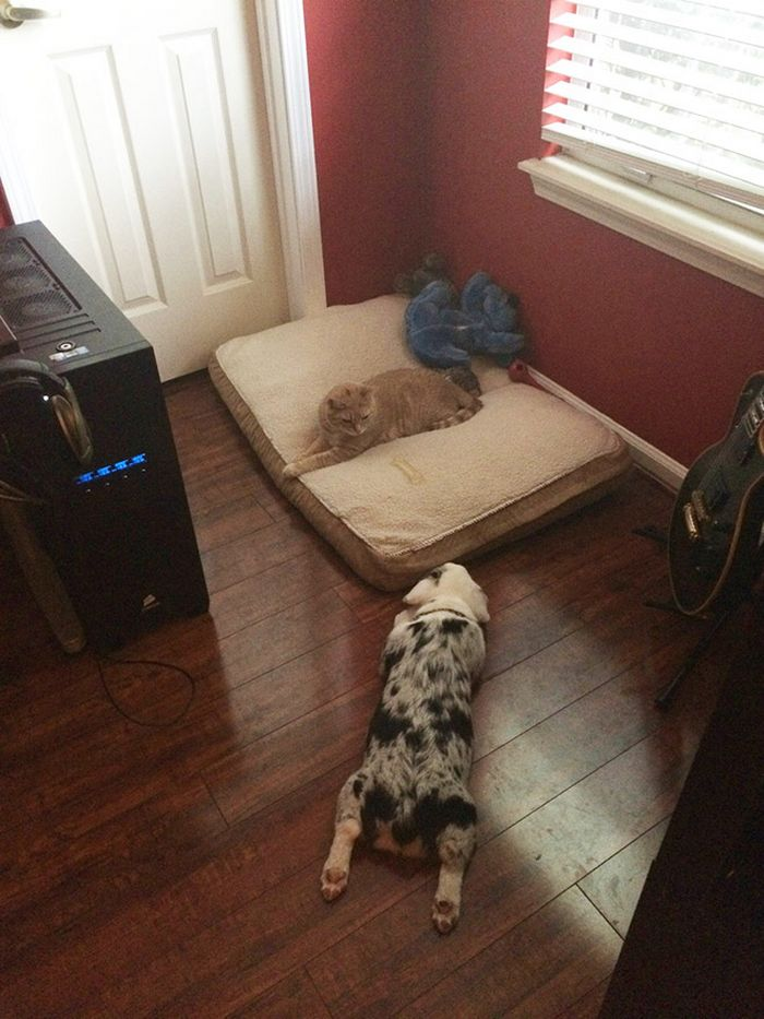 22 gatos folgados que roubaram a cama de cachorros 23
