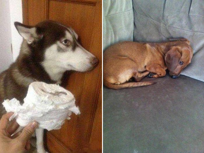 22 cachorros culpados que sentem muito pelo que fizeram 6