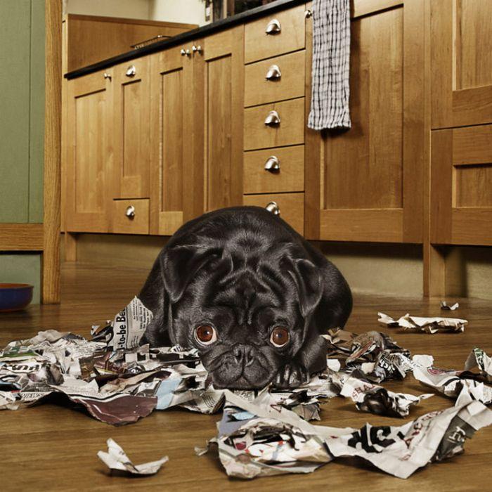 22 cachorros culpados que sentem muito pelo que fizeram 7