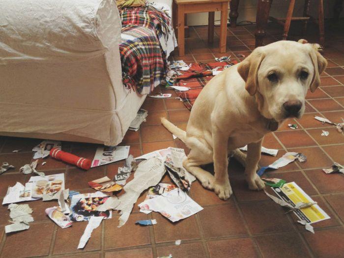 22 cachorros culpados que sentem muito pelo que fizeram 11
