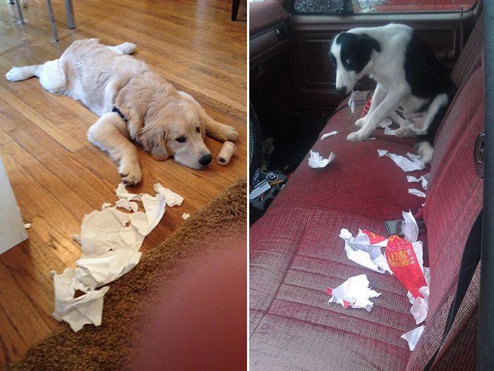 22 cachorros culpados que sentem muito pelo que fizeram 13