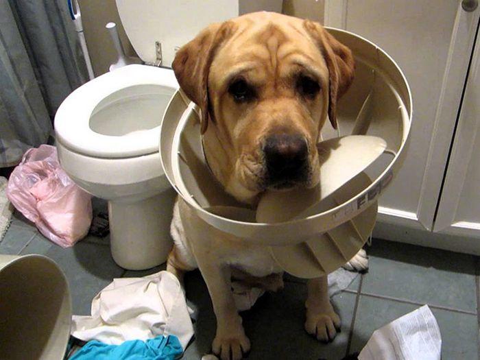 22 cachorros culpados que sentem muito pelo que fizeram 14
