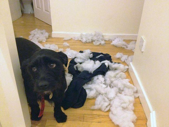 22 cachorros culpados que sentem muito pelo que fizeram 18