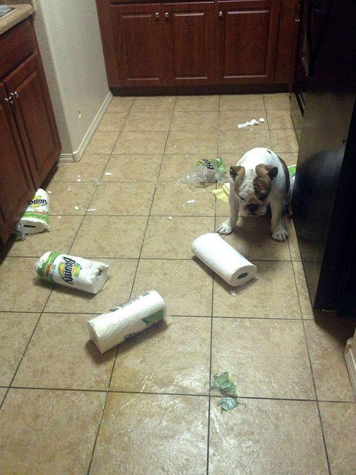 22 cachorros culpados que sentem muito pelo que fizeram 19