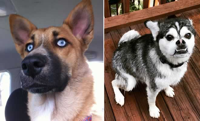 O que acontece quando mistura raças diferentes de cachorros? 40