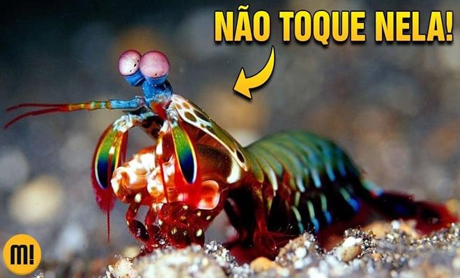 Entenda porque essa pequena lagosta é tão perigosa 3