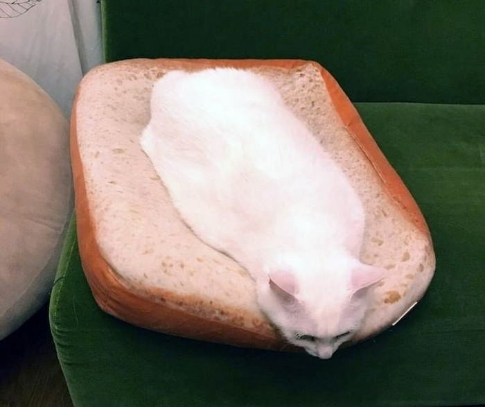 20 fatos peculiaridades dos gatos que você não sabia 10