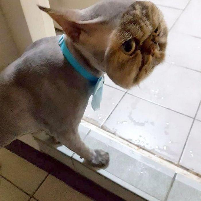 22 gatos que não estão felizes com seus cortes de cabelo de leão 4