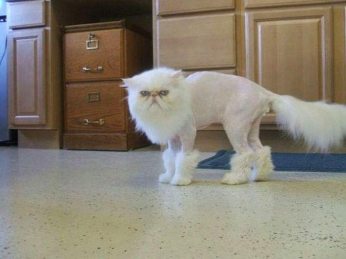 22 gatos que não estão felizes com seus cortes de cabelo de leão 5