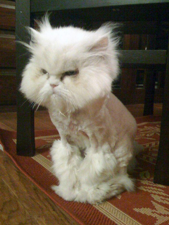22 gatos que não estão felizes com seus cortes de cabelo de leão 8