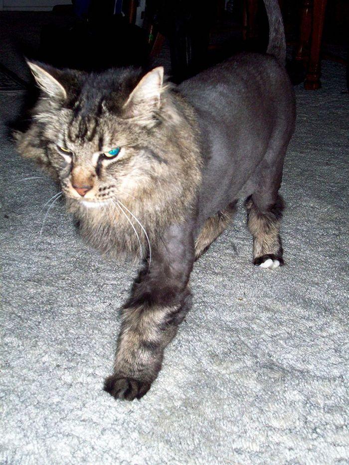 22 gatos que não estão felizes com seus cortes de cabelo de leão 9