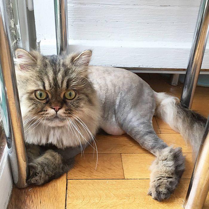22 gatos que não estão felizes com seus cortes de cabelo de leão 10