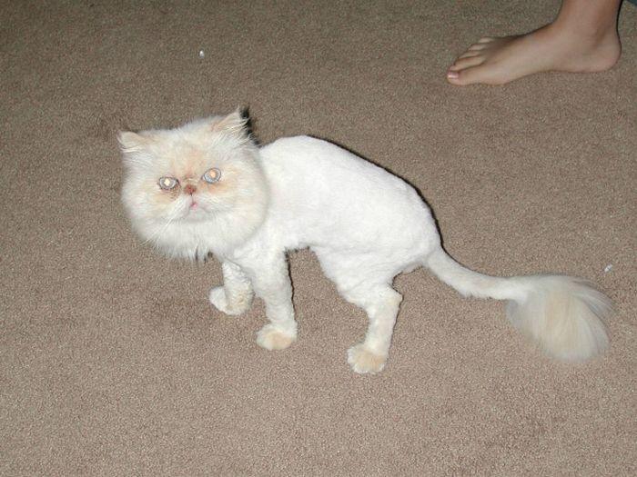 22 gatos que não estão felizes com seus cortes de cabelo de leão 14
