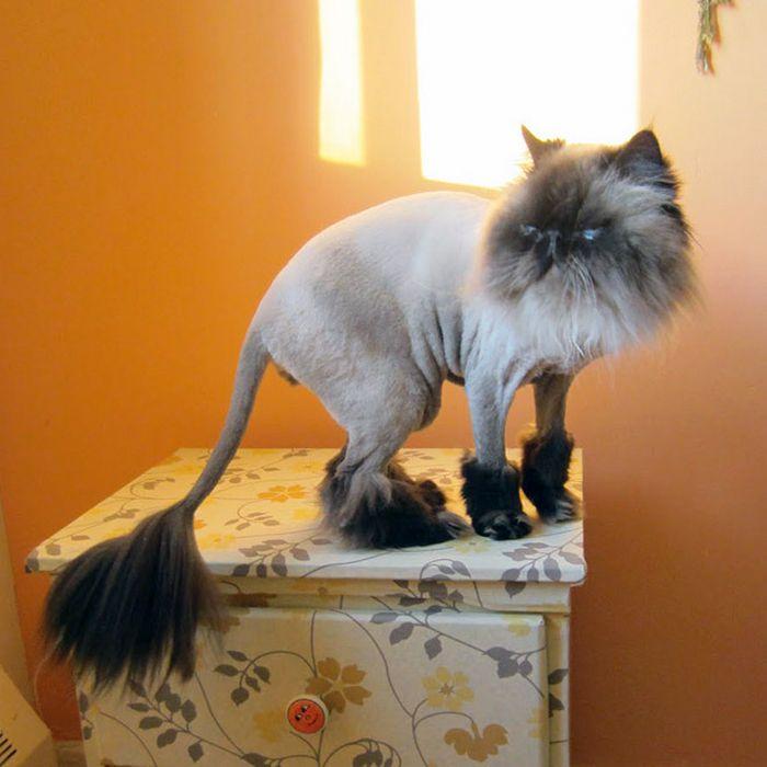 22 gatos que não estão felizes com seus cortes de cabelo de leão 15
