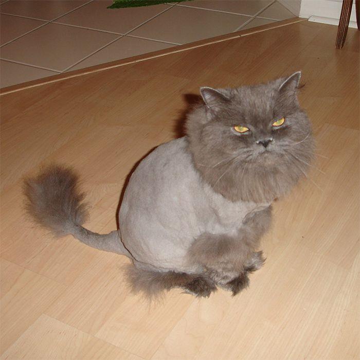 22 gatos que não estão felizes com seus cortes de cabelo de leão 16