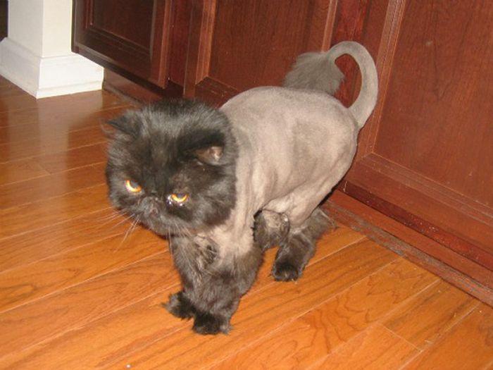 22 gatos que não estão felizes com seus cortes de cabelo de leão 17