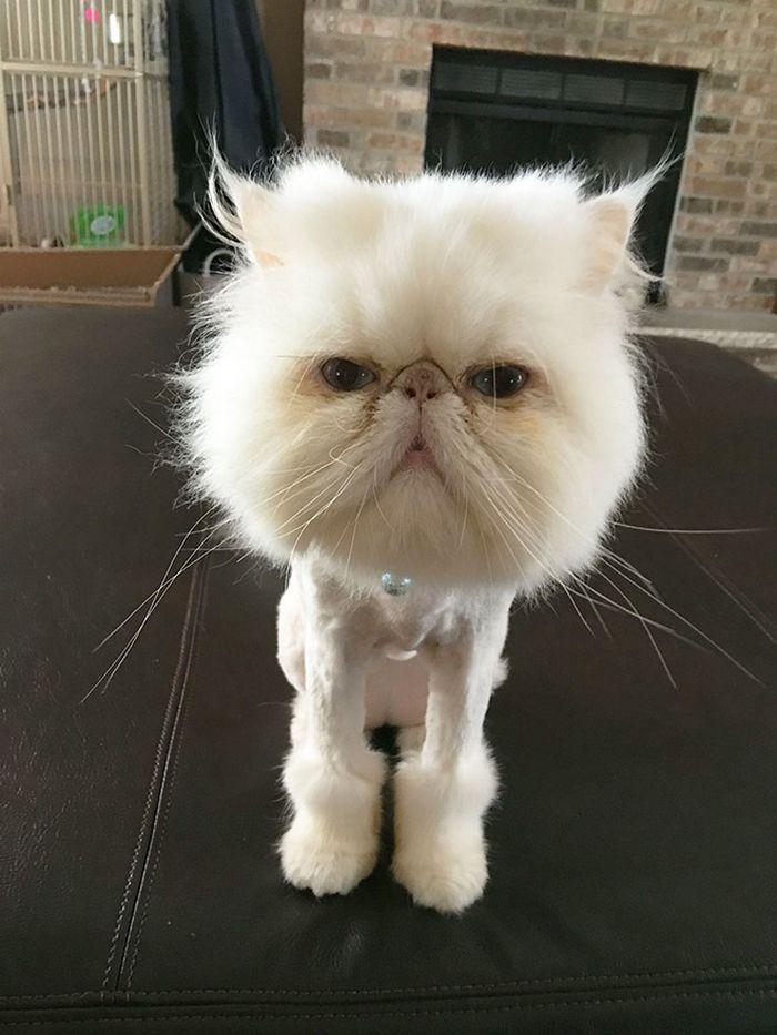 22 gatos que não estão felizes com seus cortes de cabelo de leão 18