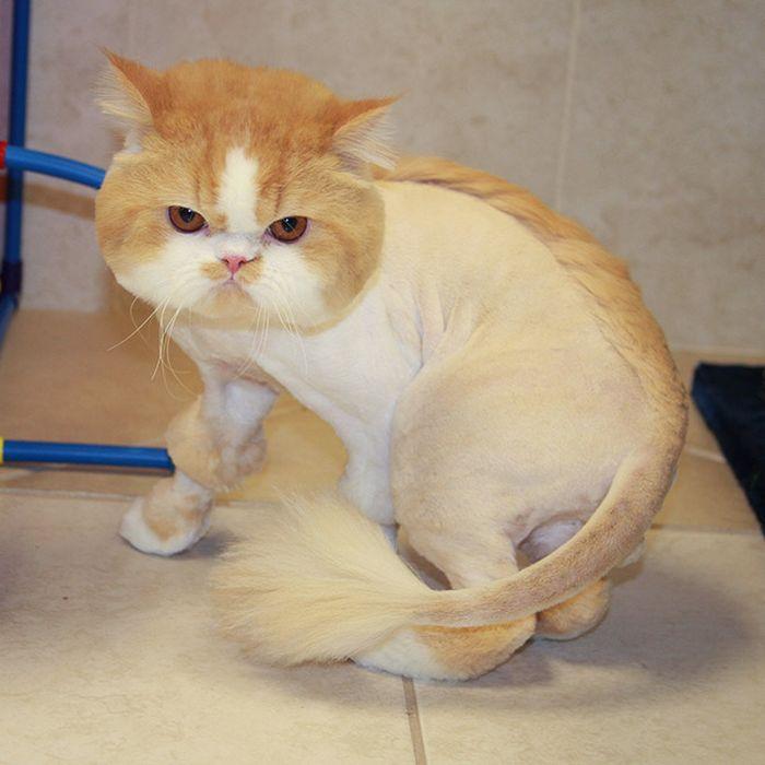 22 gatos que não estão felizes com seus cortes de cabelo de leão 19