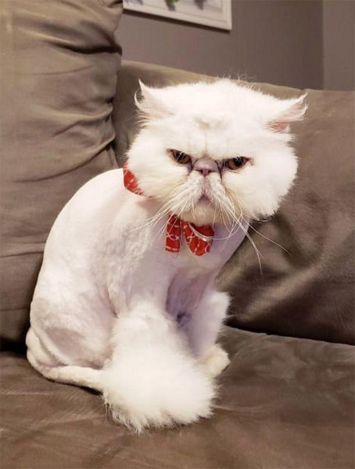 22 gatos que não estão felizes com seus cortes de cabelo de leão 23