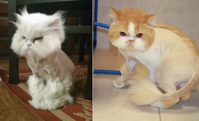 22 gatos que não estão felizes com seus cortes de cabelo de leão 6