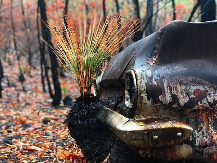 A vida está retornando à terra destruída pelos incêndios na Austrália (35 fotos) 3