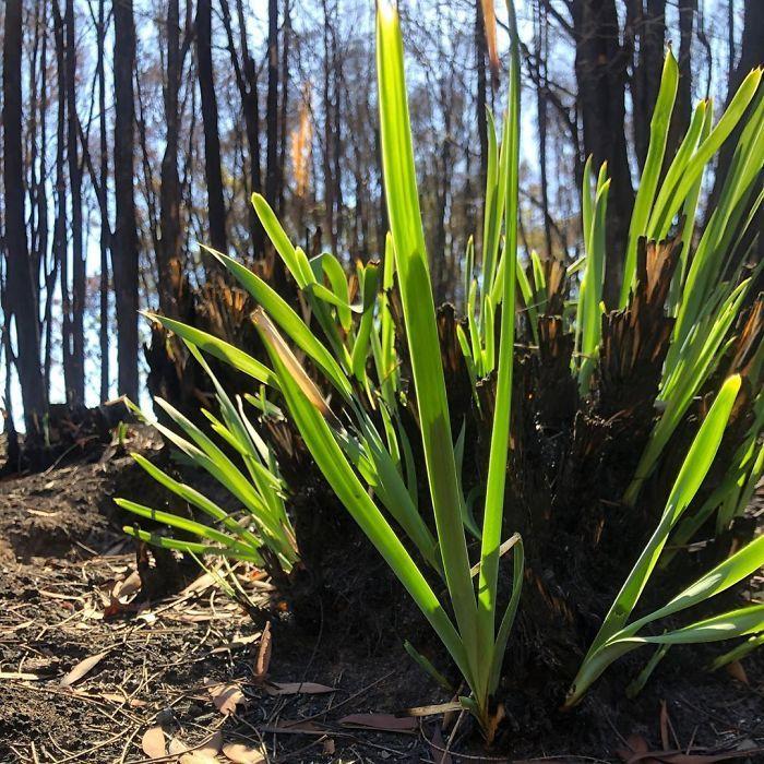 A vida está retornando à terra destruída pelos incêndios na Austrália (35 fotos) 7