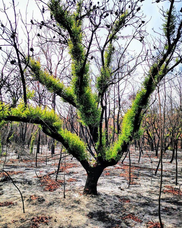 A vida está retornando à terra destruída pelos incêndios na Austrália (35 fotos) 10