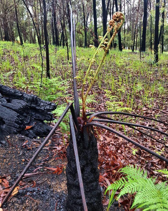 A vida está retornando à terra destruída pelos incêndios na Austrália (35 fotos) 13