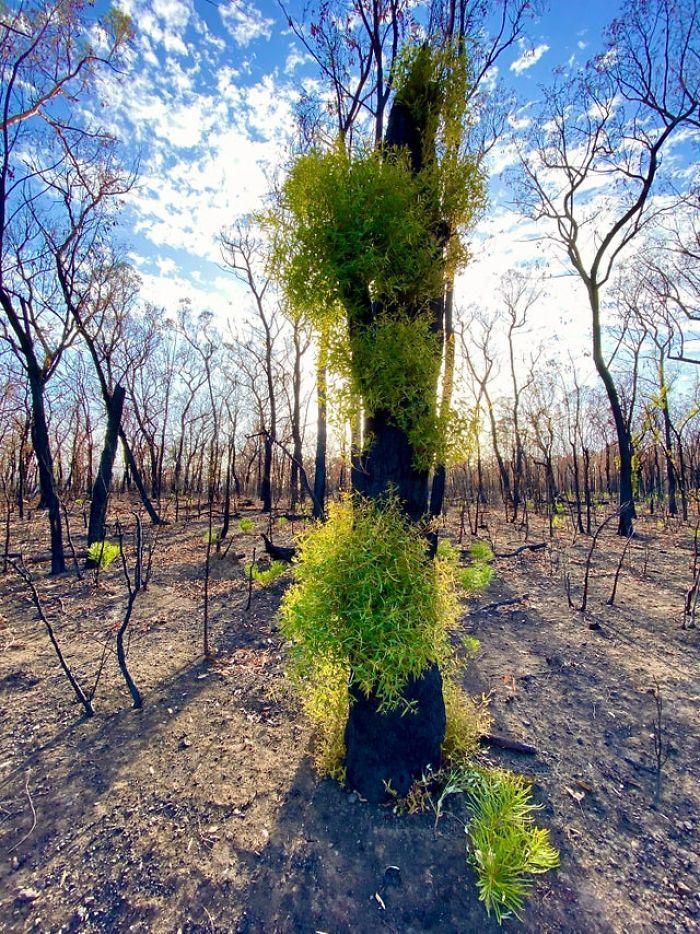 A vida está retornando à terra destruída pelos incêndios na Austrália (35 fotos) 16